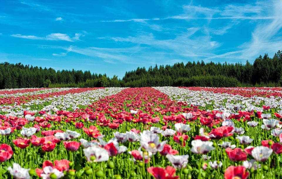poppy-63755_960_720